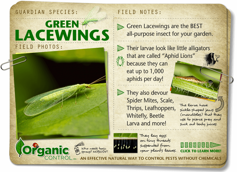 https://organiccontrol.com/green-lacewings/