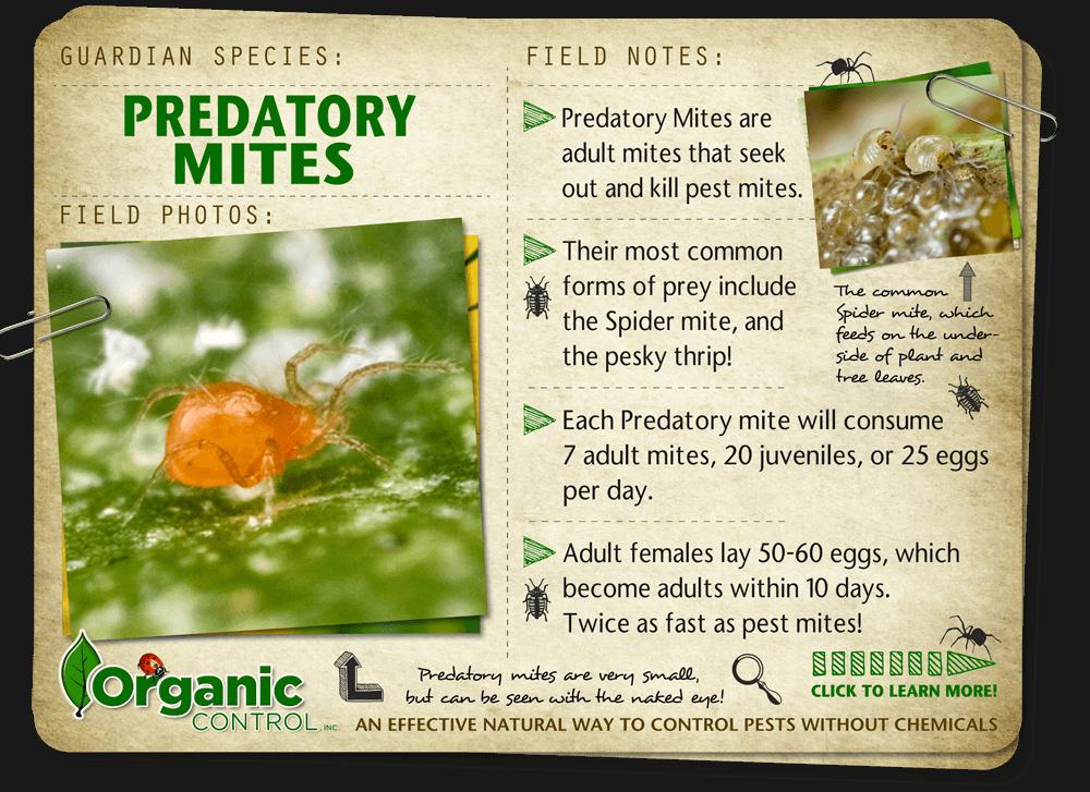 https://organiccontrol.com/predatory-mites/